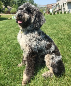 "Meet Cedar Lake Doodles "" Ashes "". Ashes is a English Multigen Mini Goldendoodle. She is a beautiful blue merle who will give us puppies of every color and pattern. She is atat kykb BbEE, 29lbs, 17 inches high, and health tested for hips, elbows, heart, eyes, patellas, DM, GR-PRA1, GR-PRA2, Ich, MD, NEwS, prcd-PRA, and vWD1."