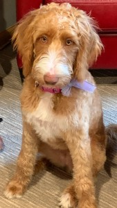"Meet Cedar Lake Doodles ""Pennie"".  Pennie is a Multigen Medium Double Doodle. Her color code is bbee. She is 47lbs, 24 inches high, and health tested for hips, elbows, heart, eyes, patellas, CNM, DM, EIC, GR-PRA1, GR-PRA2, HNPK, Ich, NCL-GR, NEwS, prcd-PRA, SD2, and vWD1."