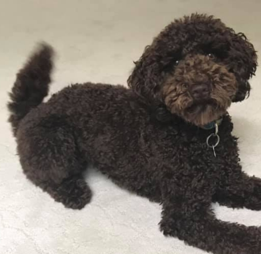 Mitzi is a petite chocolate goldendoodle.