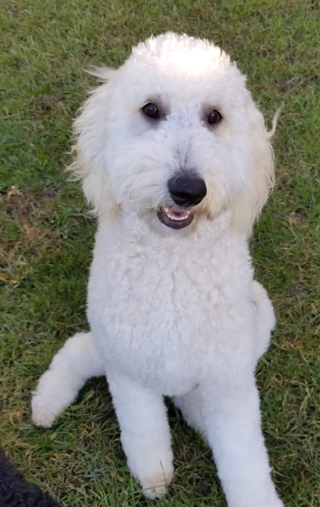 Ginger is a English cream standard goldendoodle.
