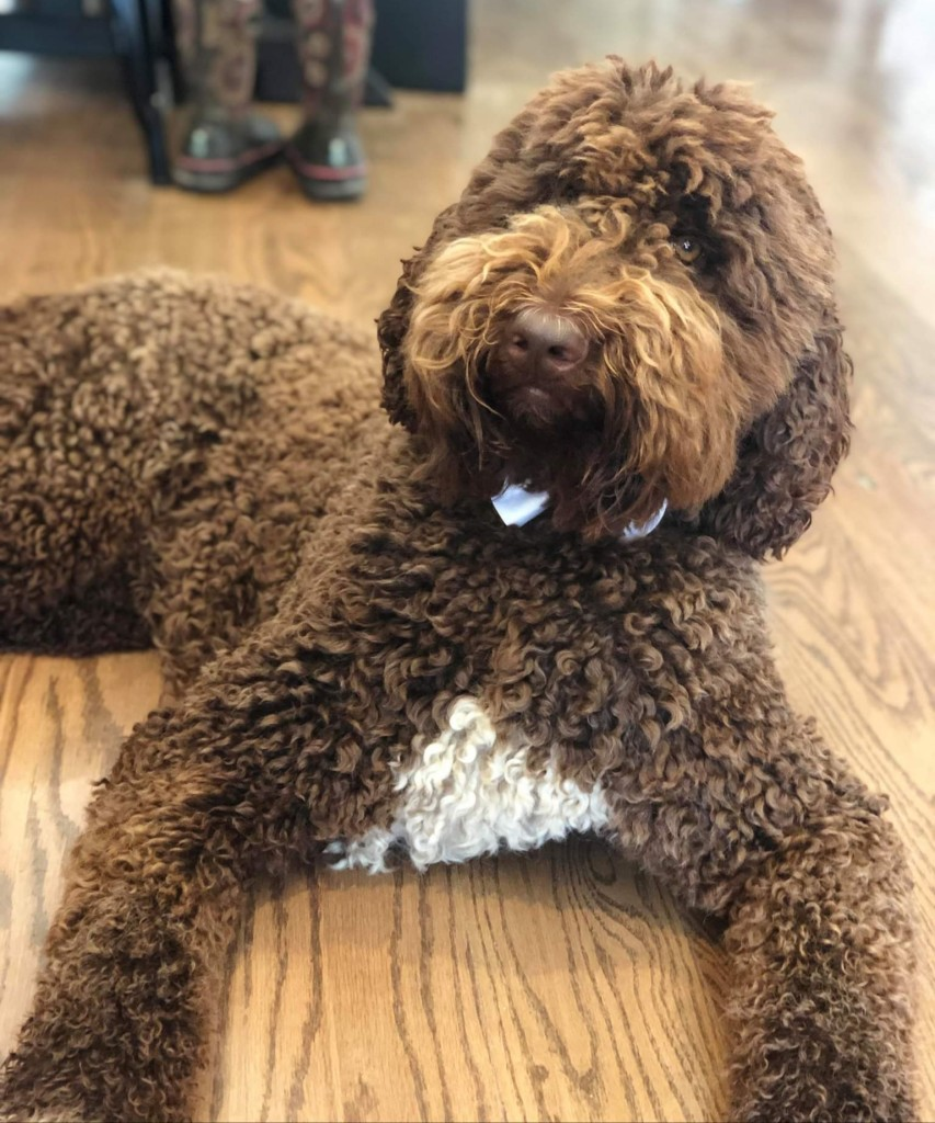 Benson is an English chocolate standard goldendoodle.