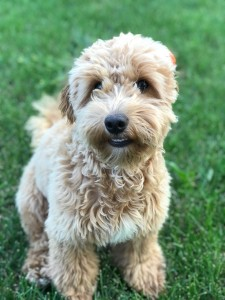 "Meet Cedar Lake Doodles ""Poppy"". Poppy is a F1B Petite Goldendoodle. She is 13lbs, 14 inches high, and health tested for hips, elbows, heart, eyes, patellas, DM, GR-PRA1, GR-PRA2, Ich, MD, NEwS, prcd-PRA, and vWD1."