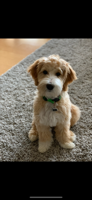 Guy is a petite apricot goldendoodle.