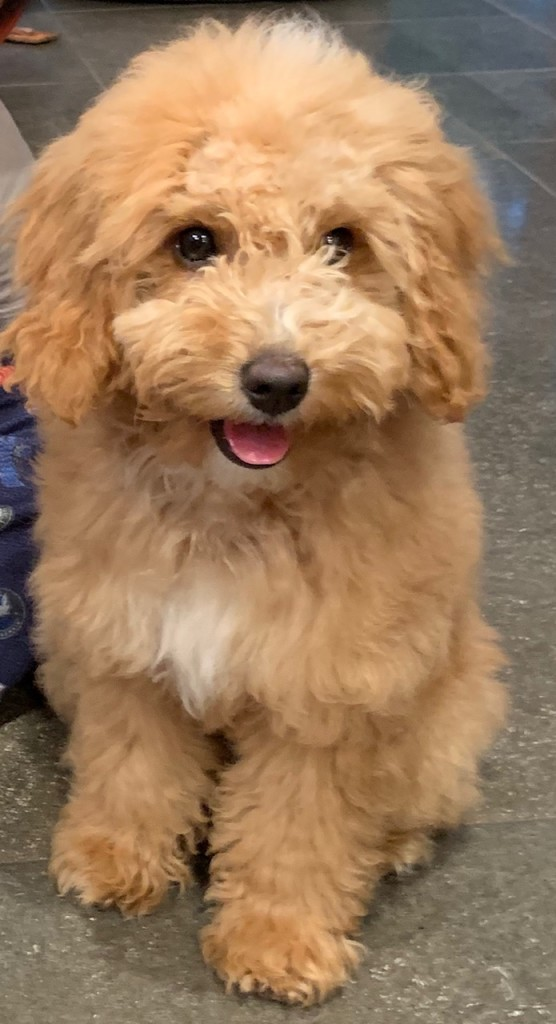 Halo is a petite apricot goldendoodle.