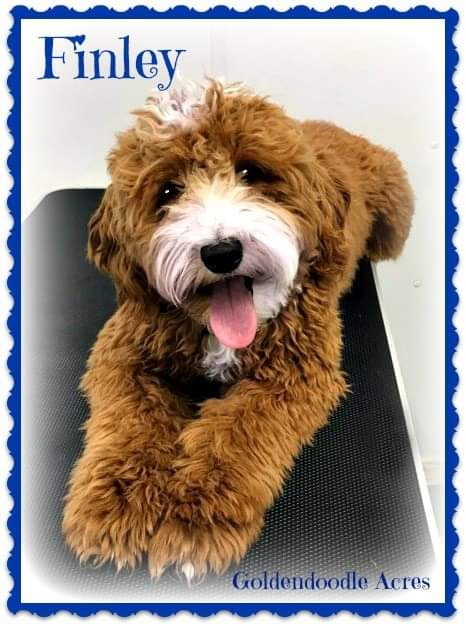Finley is a borrowed stud from Goldendoodle Acres. He is fully health tested and 20lbs of cuteness. Thank you Janece for letting me borrow this little cutie.