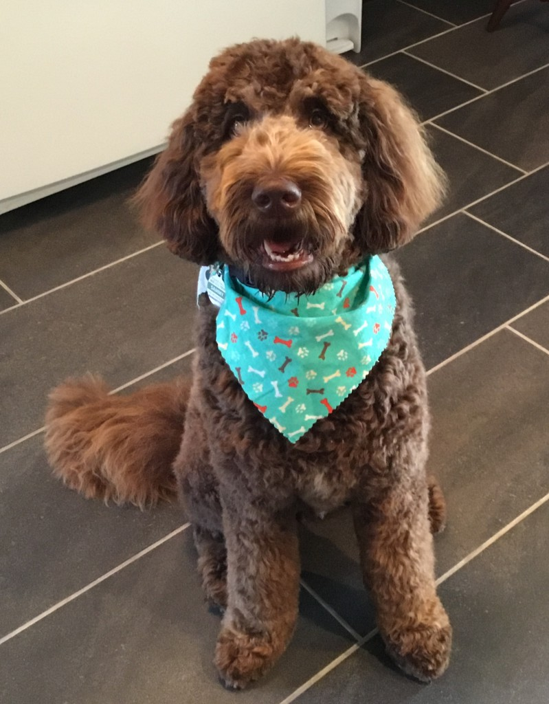 Sammy is a medium chocolate goldendoodle.