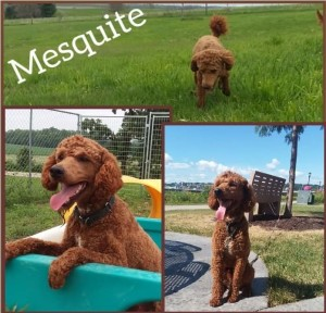 Mesquite is a borrowed boy. He is a health tested red poodle. He's 24lbs. Thank you Linda for allowing me to borrow this sweet little man.