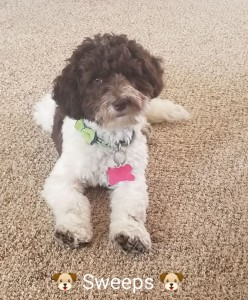 Swee' Pea (Sweeps) is a borrowed stud from Midwest Labradoodles. He is a petite chocolate parti ALD. Thank you Nicole for allowing us to borrow this sweet little man.