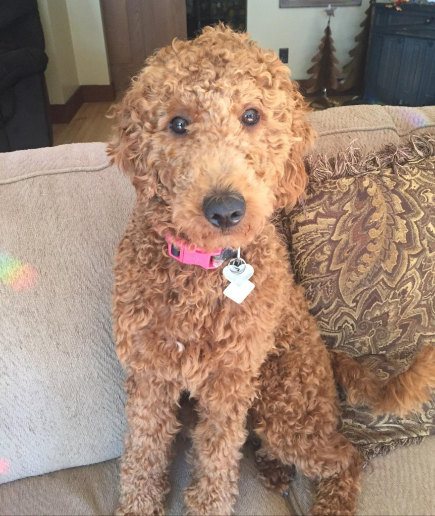 "Meet Cedar Lake Doodles ""Lucille"" aka ""Lulu. Lulu is a Multigen Mini Goldendoodle. She is sweet as pie, just like her mom Ruby. She is 32lbs, 18 inches high, and health tested for hips, elbows, heart, eyes, patellas, DM, GR-PRA1, GR-PRA2, Ich, MD, NEwS, prcd-PRA, and vWD1."