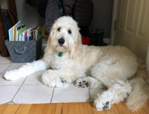 "Meet Cedar Lake Doodles "" Harper "". Harper is a medium English Multigen Goldendoodle. She is a future mom that will bring us super calm and sweet babies. She is 42lbs and is 23 inches high. She is health tested for hips, elbows, heart, eyes, patellas, DM, GR-PRA1, GR-PRA2, Ich, MD, NEwS, prcd-PRA, vWD1. Her color code is BBee."