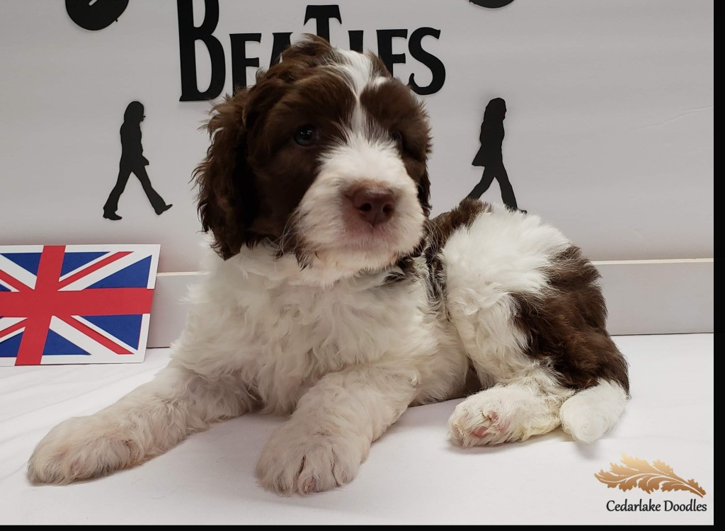 """Meet Cedar Lake Doodles """" Madison """". Madison is a mini multigen chocolate and white parti goldendoodle. She will be a future mom to some very cute parti pups."""