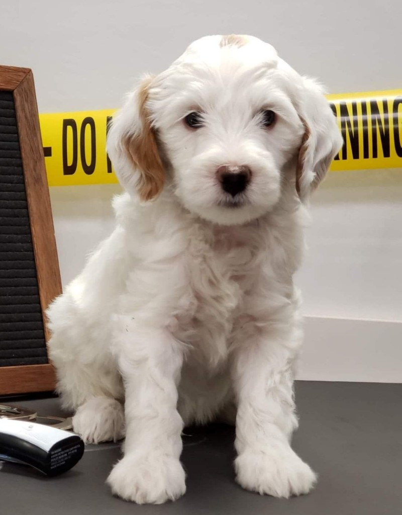 "Meet Cedar Lake Doodles "" Mac "". Mac is a multigen mini red and white parti goldendoodle. He is a future stud who will bring us a variety of colors and patterns."