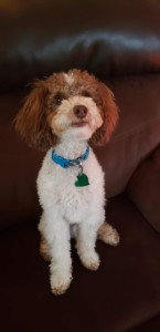 Samson is a borrowed stud. He is a chocolate tri mini poodle. He is 7lbs, completely health tested and the sweetest little guy. Thank you Karen for letting us borrow this sweetie.