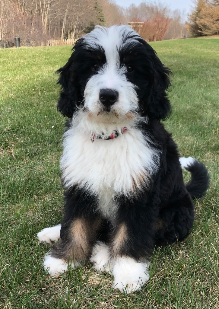 Finn is a borrowed stud from Wolf River Bernedoodles. He is a fully health tested medium bernedoodle. Thank you Brenda for letting us borrow this handsome boy.