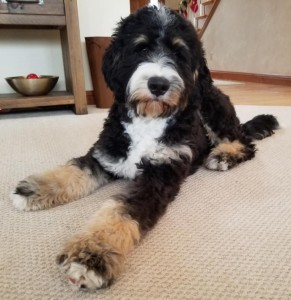 "Meet Wolf River's "" Juno "". Juno is a Standard Bernedoodle. She is a future mom of our medium or standard bernedoodle puppies. She is 25 inches high, 78lbs, and health tested for hips, elbows, heart, eyes,  patellas, and DNA health tested."