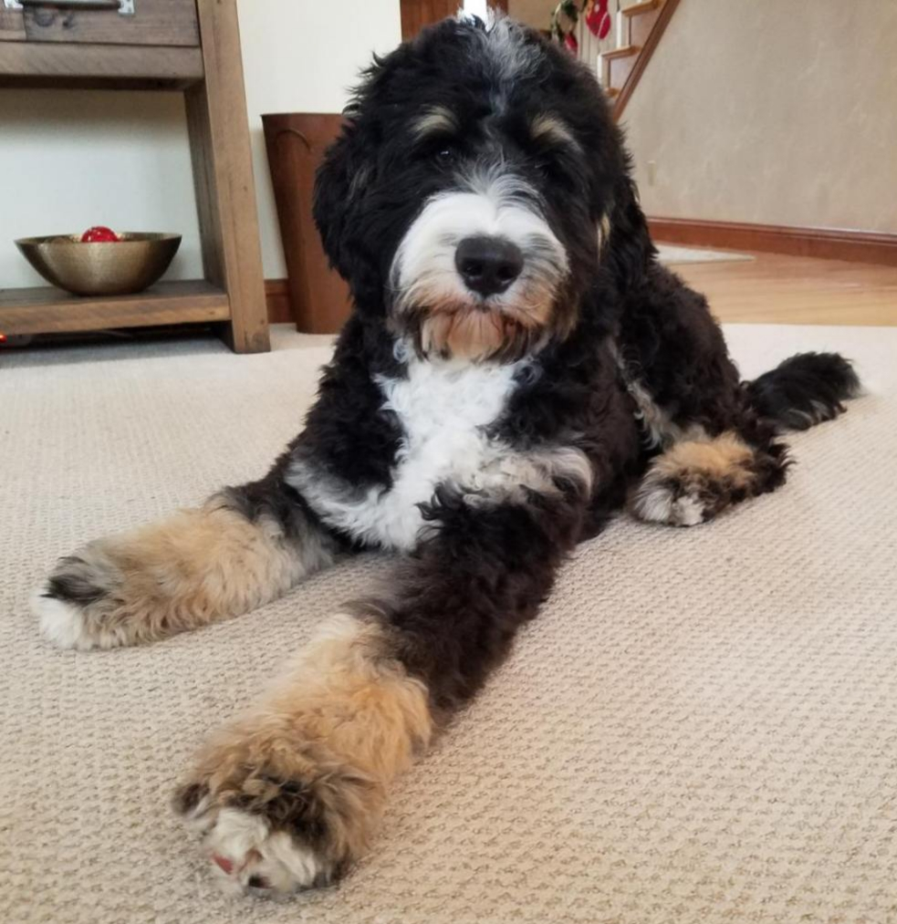 "Meet Wolf River's "" Juno "". Juno is a Standard Bernedoodle. She is a future mom of our medium or standard bernedoodle puppies. She is 25 inches high, 76lbs, and health tested for hips, elbows, heart, patellas"
