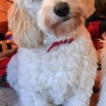Abby is a mini English cream goldendoodle.