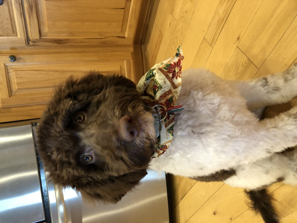 Dolly is a medium chocolate and white parti goldendoodle.
