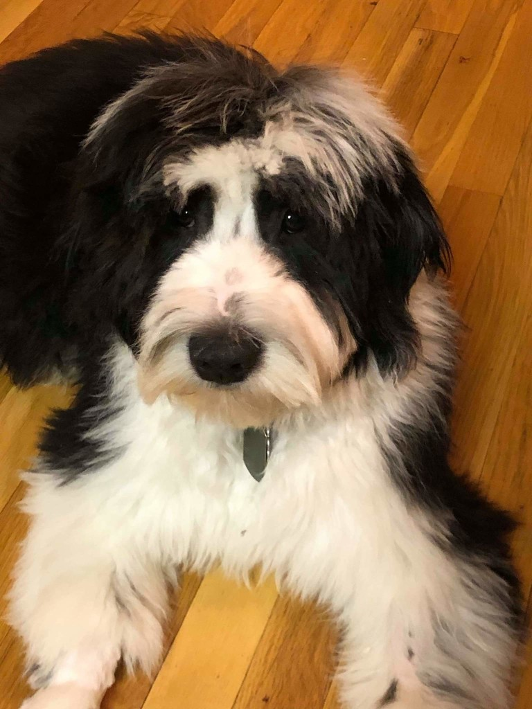Reggie is a medium black and white sheepadoodle.