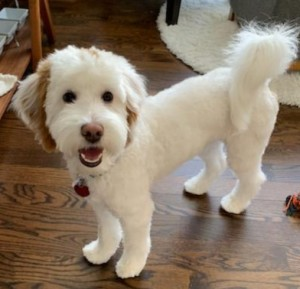 "Meet Cedar Lake Doodles "" Mac "". Mac is a multigen mini red and white parti goldendoodle. He is a sweet little man who will bring us a variety of colors and patterns. He is 16 inches high and 18lbs. He is health tested for hips, elbows, heart, patellas, CDDY, CDPA, DM, GR-PRA1, GR-PRA2, Ich, MD, NEwS, prcd-PRA, and vWD1. His color code is Bbee.  (He is not available for stud)"