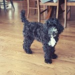 Archie is a mini black and white goldendoodle.