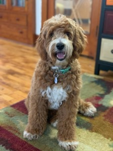 "Meet Cedar Lake Doodle's "" Cricket "". Cricket is a Mini Multigen Goldendoodle. She is a daughter of Ruby, so I'm sure we will see some very sweet puppies from her. She is 18 inches high, 30lbs, and health tested for hips, elbows, heart, eyes, patellas, DM, GR-PRA1, GR-PRA2, Ich, MD, NEwS, prcd-PRA, vWD1, CDDY, and CDPA."