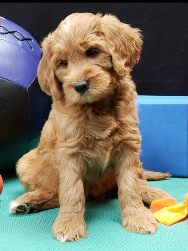 """Meet Cedar Lake Doodle's """" Ginger """". Ginger is an F3 Medium Goldendoodle. She will bring us some very sweet and laid back puppies just like her mom Marley."""