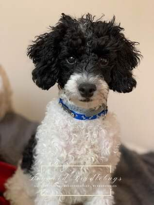 Oliver is a borrowed stud from Dogwood Doodlebugs. Oliver is a miniature poodle, 16lbs., and completely health tested. Thank you Christin for allowing us to use this sweet little boy.