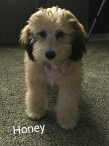 "Meet Cedar Lake Doodles ""Honey"". Honey is a Mini Multigen Sable Goldendoodle. She is as sweet as her name and will be a future mom of some very colorful puppies."