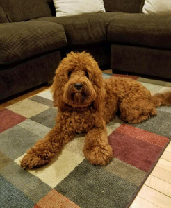 Bear is a borrowed stud from Midwest Labradoodles. He is a 35lb. red ALD. Thank you Nicole for letting us borrow this handsome little man.