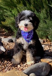 Bullet is a Petite bernedoodle from Alpine Berneodoodles. He is 17lbs and fully health tested. Thank you Kathryn for letting us borrow this little cutie.