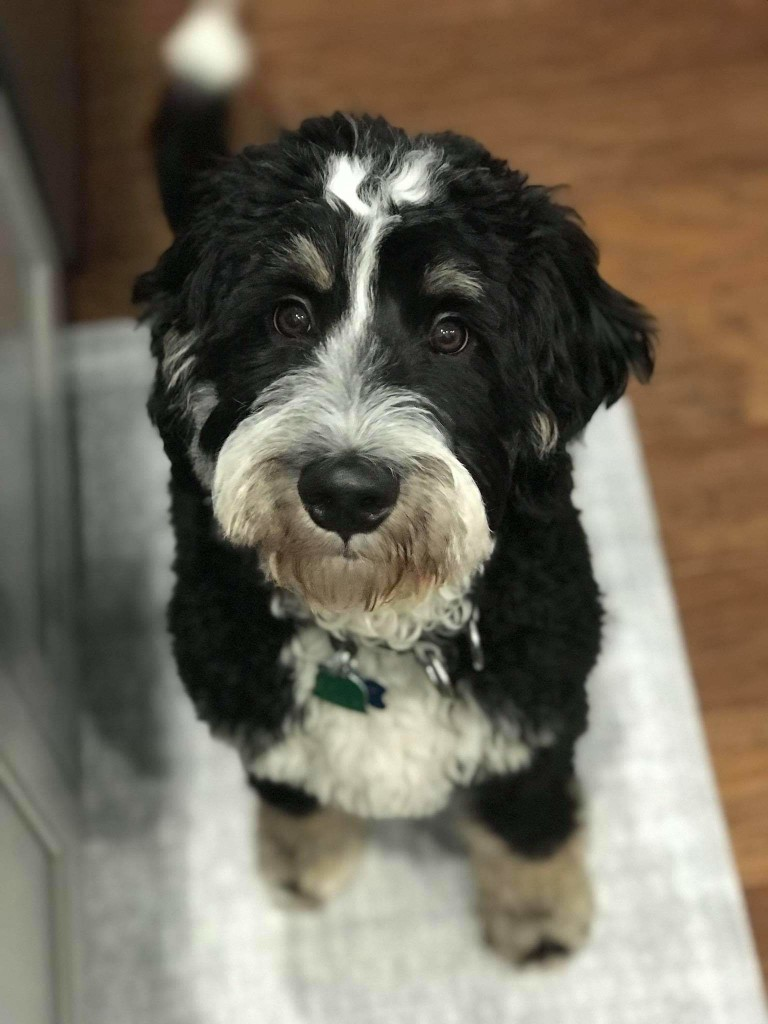 Bear is a mini bernedoodle.