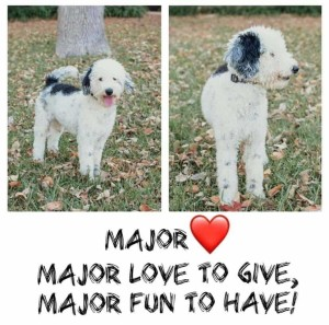 Major is a miniature poodle and borrowed from Hey Dood Doodles. Thank you Joanne for allowing us to use this handsome little man.