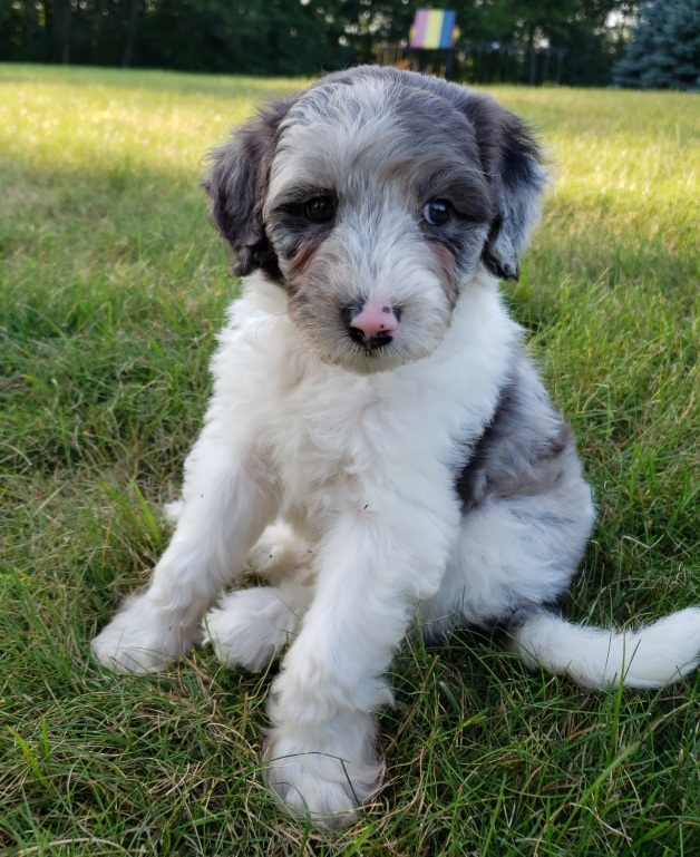 """Meet Cedar Lake Doodles """"Zuri"""". Zuri is a Mini Multigen Blue merle parti Goldendoodle. She is a future mom to some very colorful puppies."""
