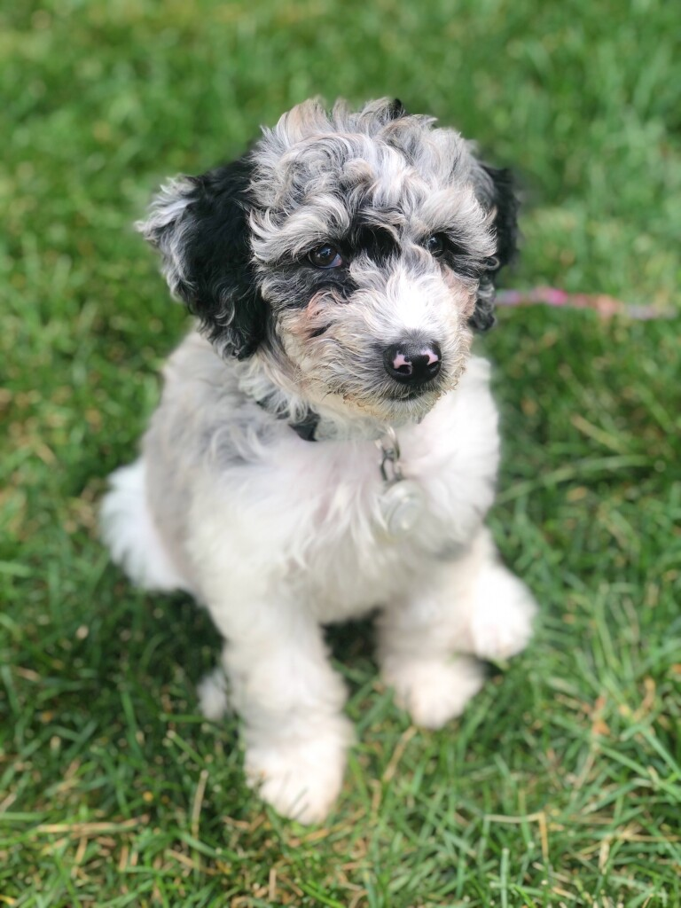 """Meet Cedar Lake Doodles """"Irie"""". Irie is a Mini Multigen Blue merle parti Goldendoodle. She will be a future mom to some very colorful puppies."""