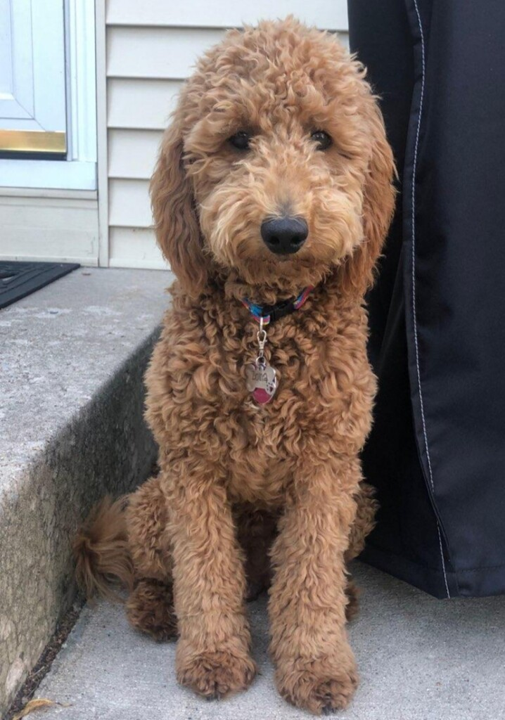 "Meet Cedar Lake Doodles "" McKensie "". McKensie is a multigen mini goldendoodle. She is a future mom and daughter of Ruby, so we know that she will have sweet and beautiful babies."