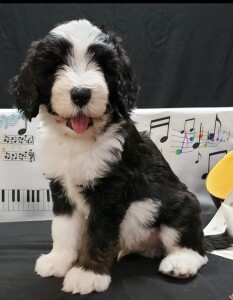 "Meet Cedar Lake Doodles "" Kingston"". Kingston is a Medium Multigen Golden Bernedoodle. He is just a love and we can't wait to see what beautiful bernedoodles he will be father to."