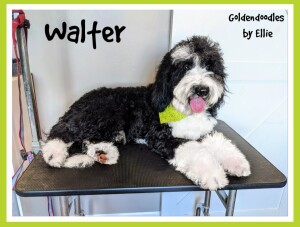 Walter is a borrowed stud from Goldendoodles by Ellie. He is a 45lb, health tested sheepadoodle. Thank you Ellie for allowing us to use this sweet boy.