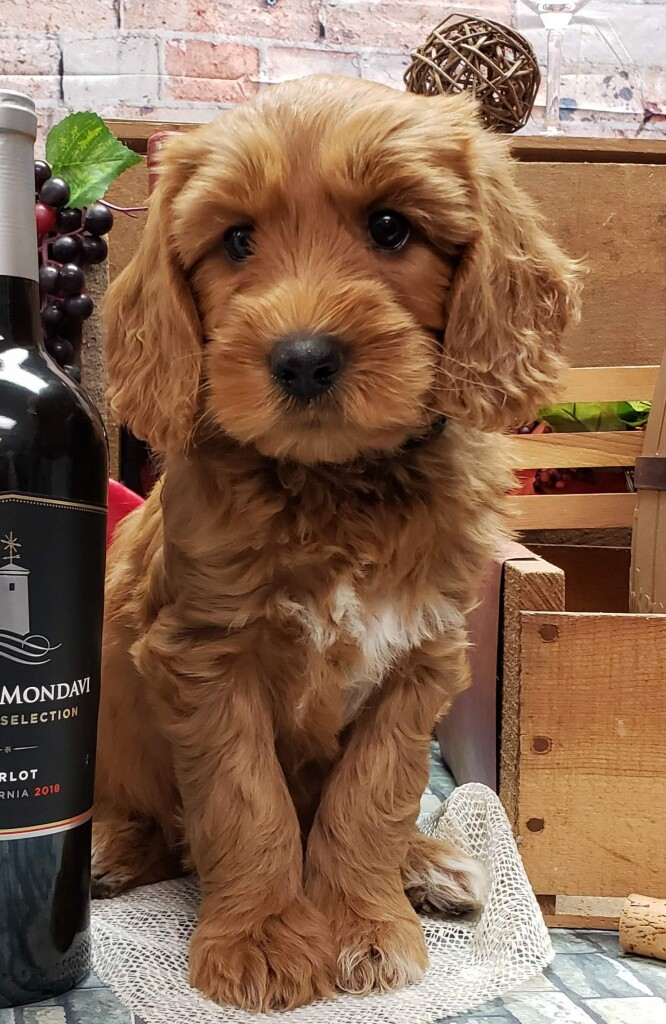 """Meet Cedar Lake Doodles """"Calypso ( Callie )"""". Callie is a Medium Multigen Goldendoodle. She is a future mom that will give us beautiful babies just like her mom Marley."""