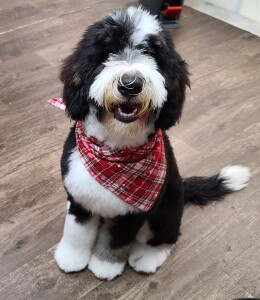 "Meet Cedar Lake Doodles "" Kingston"". Kingston is a Medium Multigen Bernedoodle. He is just a love and we can't wait to see what beautiful bernedoodles he will be father to."