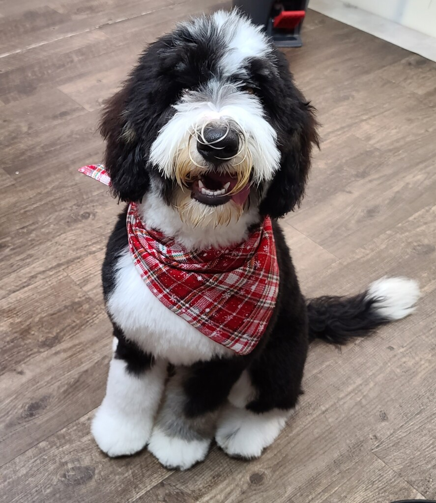 """Meet Cedar Lake Doodles """" Kingston"""". Kingston is a Medium Multigen Bernedoodle. He is just a love and we can't wait to see what beautiful bernedoodles he will be father to."""