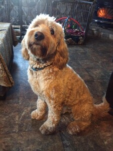 Malachi is a borrowed stud from Goldendoodles by Ellie. This big handsome goldendoodle is fully health tested and 65lbs. Thank you Ellie for allowing us to use this sweet boy
