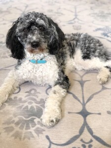 """Meet Cedar Lake Doodles """"Irie """". Irie is a Blue Merle Parti  Mini Multigen Goldendoodle. She is a future mom to some rainbow litters of puppies."""