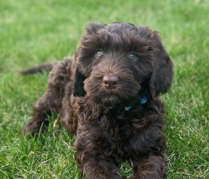 """Meet Doodles of the Valley """"Lani"""". Lani is a Standard Multigen Double Doodle. This beautiful chocolate girl is going to have the calmest, sweetest pups."""