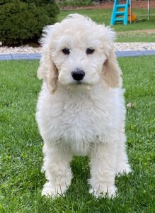 """Meet AKA's """"Rico"""". Rico is a Standard English Cream Goldendoodle and the son of our sweet Cosmo. We are so thrilled to add this boy to the CLD family!!"""
