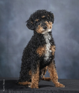 Lenny is a borrowed stud from AKA's Doodles and Poodles. He is a mini phantom poodle. Thank you Amy for letting us borrow this sweet boy.
