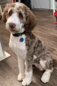 """Meet Cedar Lake Doodles """"Rita"""". Rita is a Chocolate Tri Standard Golden Bernedoodle. She is going to be a future mom to some very beautiful bernedoodle babies."""