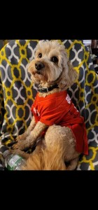 Milo is a borrowed stud from Brewer's Goldendoodles. He is a petite/mini goldendoodle. Thank you Andrea for allowing us to use this cute little man.