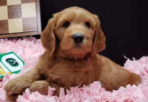 """Meet Cedar Lake Doodles """"Raeni"""". Raeni is a Multigen Standard Goldendoodle. She is a future mom who will have beautiful and sweet puppies like her mom Marley."""